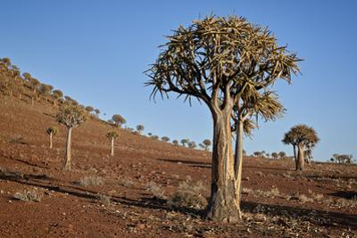 Quiver tree (Kokerboom) (Aloe dichotoma), Gannabos, Namakwa, Namaqualand, South Africa, Africa