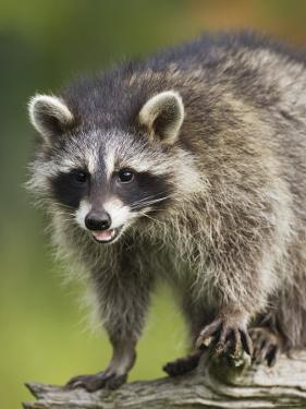 Raccoon (Racoon) (Procyon Lotor), in Captivity, Minnesota Wildlife Connection, Minnesota, USA by James Hager