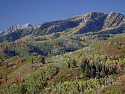 Red and Orange Maples and Yellow Aspens in the Fall, Wasatch Mountain State Park, Utah, USA