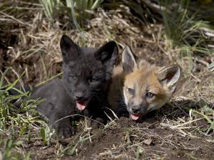 Red Fox Kits, One Black Phase, in Captivity, Animals of Montana, Bozeman, Montana, USA by James Hager