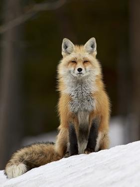 Red Fox (Vulpes Vulpes) (Vulpes Fulva) in the Snow by James Hager