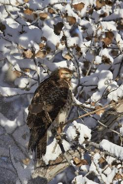 Red-Tailed Hawk (Buteo Jamaicensis) Juvenile in a Snow-Covered Tree by James Hager