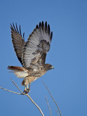 Red-Tailed Hawk (Buteo Jamaicensis) Taking Off by James Hager