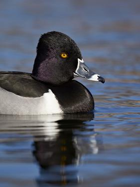 Ring-Necked Duck (Aythya Collaris) Swimming, Clark County, Nevada, Usa by James Hager