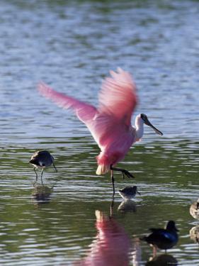 """Roseate Spoonbill (Ajaia Ajaja), J. N. """"Ding"""" Darling National Wildlife Refuge, Florida by James Hager"""