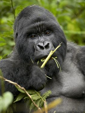 Silverback Mountain Gorilla (Gorilla Gorilla Beringei), Group 13, Volcanoes National Park, Rwanda by James Hager
