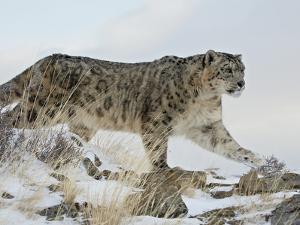 Snow Leopard (Uncia Uncia), in Captivity, Near Bozeman, Montana, USA by James Hager