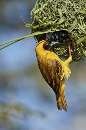 Southern masked weaver (Ploceus velatus), male building a nest, Kgalagadi Transfrontier Park, South