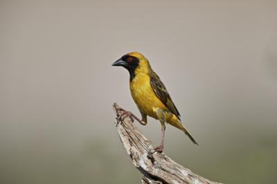 Southern masked weaver (Ploceus velatus), male, Kgalagadi Transfrontier Park, South Africa, Africa by James Hager