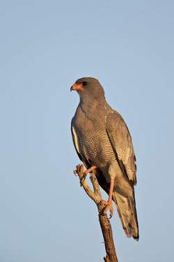Southernpale Chanting Goshawk (Melierax Canorus) by James Hager