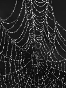 Spiderweb Covered with Dew, Glacier National Park, Montana, United States of America, North America by James Hager