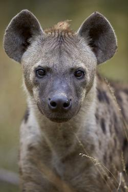 Spotted Hyena (Spotted Hyaena) (Crocuta Crocuta), Kruger National Park, South Africa, Africa by James Hager