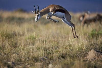 Springbok (Antidorcas Marsupialis) Buck Springing or Jumping by James Hager