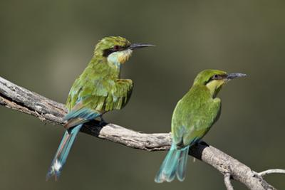 Swallow-tailed bee-eater (Merops hirundineus) adult and juvenile, Kgalagadi Transfrontier Park, Sou
