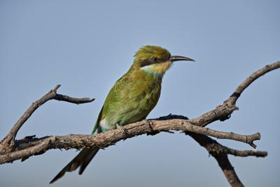 Swallow-tailed bee-eater (Merops hirundineus), Kgalagadi Transfrontier Park, South Africa, Africa by James Hager