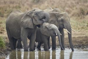 Three African elephant (Loxodonta africana) drinking, Mikumi National Park, Tanzania, East Africa, by James Hager