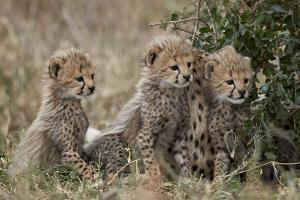 Three Cheetah (Acinonyx Jubatus) Cubs About a Month Old by James Hager