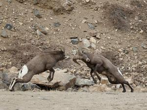 Two Bighorn Sheep (Ovis Canadensis) Rams Butting Heads, Clear Creek County, Colorado, USA by James Hager