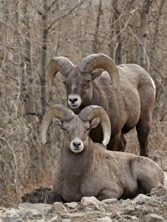 Two Bighorn Sheep (Ovis Canadensis) Rams During the Rut, Clear Creek County, Colorado, USA