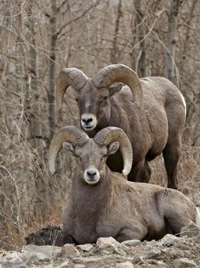 Two Bighorn Sheep (Ovis Canadensis) Rams During the Rut, Clear Creek County, Colorado, USA by James Hager