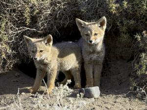 Two Gray Fox Pups at Den Entrance, Torres Del Paine, Chile, South America by James Hager