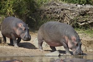 Two Hippopotamus (Hippopotamus Amphibius) Returning to the Water by James Hager