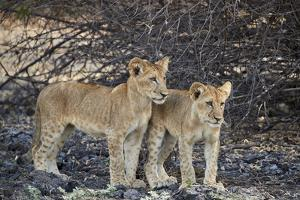 Two lion (Panthera leo) cubs, Selous Game Reserve, Tanzania, East Africa, Africa by James Hager
