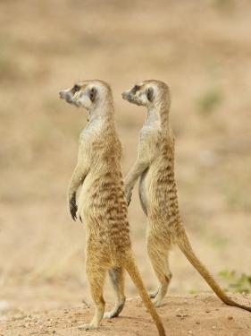 Two Meerkat or Suricate, Kgalagadi Transfrontier Park, South Africa by James Hager