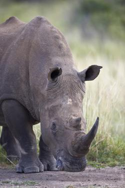 White Rhinoceros (Ceratotherium Simum), Hluhluwe Game Reserve, South Africa, Africa by James Hager