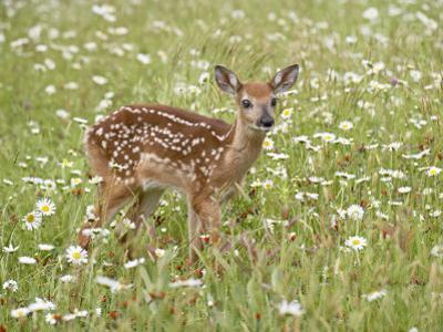 Whitetail Deer Fawn Among Oxeye Daisy, in Captivity, Sandstone, Minnesota, USA by James Hager