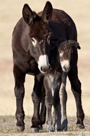 Wild Burro (Donkey) (Equus Asinus (Equus Africanus Asinus) Jenny and Foal by James Hager
