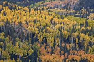 Yellow and Orange Hillside of Aspen in the Fall, Uncompahgre National Forest, Colorado, Usa by James Hager