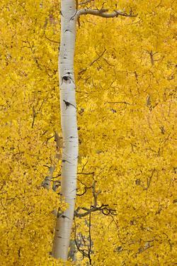 Yellow Aspen in the Fall, Uncompahgre National Forest, Colorado, Usa by James Hager