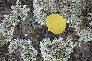 Yellow Aspen Leaf on a Lichen-Covered Rock in the Fall by James Hager
