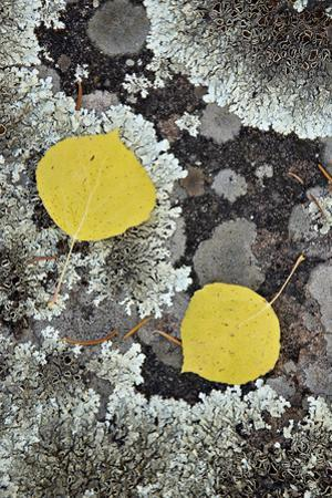Yellow Aspen Leaves on a Lichen-Covered Rock in the Fall