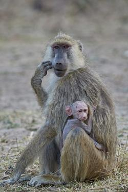 Yellow baboon mother and days-old infant, Ruaha National Park, Tanzania, East Africa, Africa by James Hager
