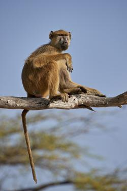 Yellow baboon (Papio cynocephalus), Selous Game Reserve, Tanzania, East Africa, Africa by James Hager