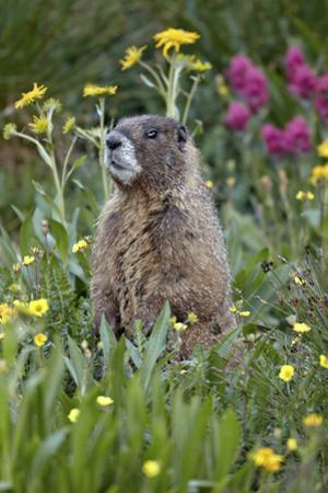 Yellow-Bellied Marmot Among Wildflowers, San Juan Nat'l Forest, Colorado, USA by James Hager