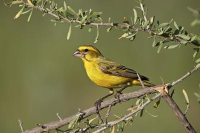 Yellow canary (Crithagra flaviventris), male, Kgalagadi Transfrontier Park, South Africa, Africa by James Hager