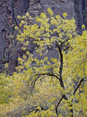 Yellow Cottonwood in the Fall, Zion National Park, Utah, USA by James Hager