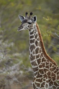 Young Masai giraffe (Giraffa camelopardalis tippelskirchi), Selous Game Reserve, Tanzania, East Afr by James Hager