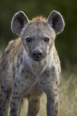 Young Spotted Hyena (Spotted Hyaena) (Crocuta Crocuta), Kruger National Park, South Africa, Africa by James Hager