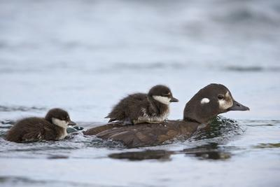 Harlequin Duck (Histrionicus Histrionicus) Duckling Riding on its Mother's Back