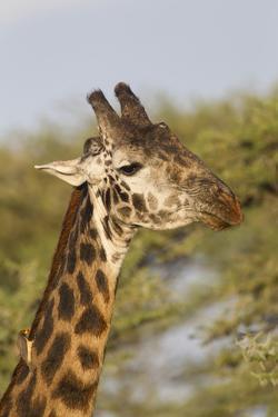 Bull Masai Giraffe Portrait with Ox Pecker, Ngorongoro, Tanzania by James Heupel