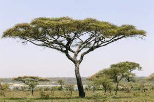 Landscape with Large Acacia Tree Near Lake Ndutu, Ngorongoro, Tanzania by James Heupel