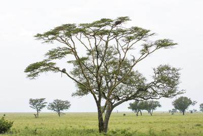 Leopards Sitting in a Yellow Acacia Tree, Ngorongoro Area, Tanzania