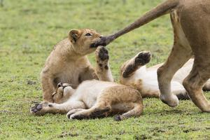 Lion Cub Bites the Tail of Lioness, Ngorongoro, Tanzania by James Heupel