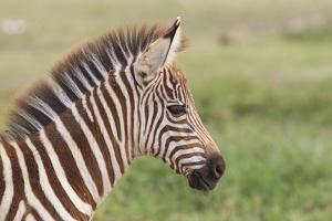 Newborn Colt Portrait, Day or Two Old, Ngorongoro, Tanzania by James Heupel