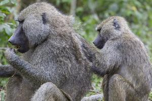 Sitting Yellow Baboon Grooms the Back of an Adult, Arusha NP, Tanzania by James Heupel