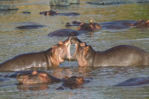 Two Hippos Fighting in Foreground of Mostly Submerged Hippos in Pool by James Heupel